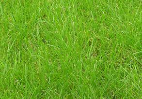 Мятлик луговой - Семена мятлика лугового