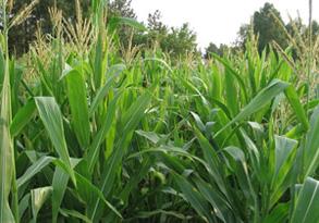 Cемена кукурузы